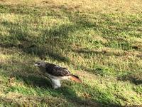 Dinner Time for Hawk (鷹の夕ご飯) - ファルマウスミー