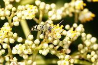 フタオビミドリトラカミキリ - Insect walk