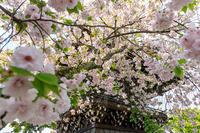 桜咲く京都2018妙蓮寺の八重桜たち - 花景色-K.W.C. PhotoBlog