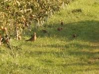 キジの親子がリンゴ園で食事 - リンゴ園で想う