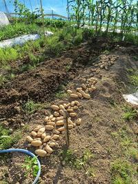 ジャガイモ掘り2回目。番外編・・。 - あいやばばライフ