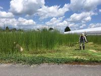 フトイ草の刈り取り作業 - 松本民芸家具公認ブログ