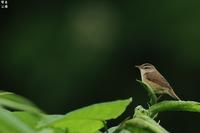 北海道のコヨシキリはよく鳴くなぁ! - 野鳥公園