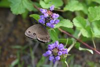 富士山麓の蝶 - 小畔川日記
