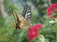 8月の庭Vol.1 - グリママの花日記