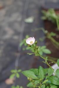バレリーナが咲いたから - お庭のおと
