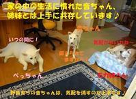 音ちゃん2週間経過♪ & CAPINさんの活動・譲渡会のご紹介! - もももの部屋(家族を待っている保護犬たちと我家の愛犬のブログです)