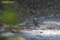 マミジロ - 奥武蔵の自然