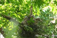 「ミゾゴイ親子」さん♪大きくても、とっても可愛かった(*^^*) - ケンケン&ミントの鳥撮りLifeⅡ
