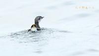 カンムリウミスズメ - 北の野鳥たち