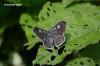 20180728 北アルプスの散歩道:ブナ林に飛ぶオオゴマシジミ  - NATURE DIARY