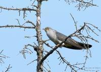 ツツドリは、センダイムシクイ、キビタキなどに托卵 - THE LIFE OF BIRDS ー 野鳥つれづれ記