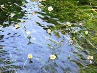 梅花藻咲く小川 - 風にのって・・・