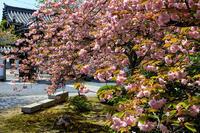 桜咲く京都2018八重桜咲く本満寺 - 花景色-K.W.C. PhotoBlog