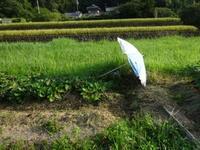 テントの畑デビューはおあずけ・・・稲刈り真っ盛り - 化学物質過敏症・風のたより2