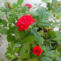 真夏の薔薇 - aquasongs ~アクアソングス~