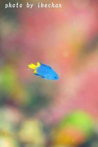 とある理由 ~フィリピンスズメダイ幼魚~ - 池ちゃんのマリンフォト