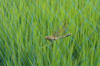 ■ ネットの中のシオカラトンボ   18.8.4 - 舞岡公園の自然2