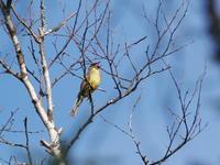 湯川沿いでアオジを観察 - コーヒー党の野鳥と自然 パート2