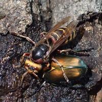 モンスズメバチ Vespa crabro flavofasciata - 写ればおっけー。コンデジで虫写真