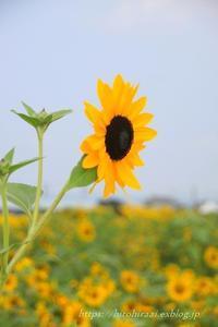 横須賀 ソレイユの丘 ひまわり - 暮らしを紡ぐ