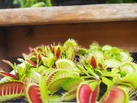 食虫植物の中でも有名なハエトリソウ - 神戸布引ハーブ園 ハーブガイド ハーブ花ごよみ