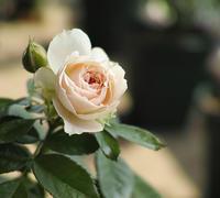 パシュミナ開花。 - 野だてnote