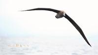 クロアシアホウドリ - 北の野鳥たち