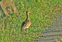 チュウシャクシギが農道に - barbersanの野鳥観察