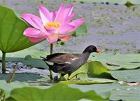 蓮の花とバン - バードカラー