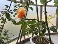 いざ出勤とバラの生長 - はまあやのくらし