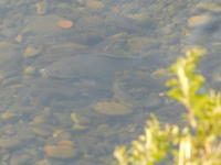 野川周辺日記(2018/08/04~05)-魚の群れ - SEのための心理相談室