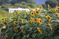 向日葵と烏山線 - EH500_rail-photograph