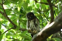 アオバズク08月05日 - 旧サンヨン野鳥撮影放浪記
