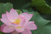 2018.07不忍池(7月2回目)再び不忍の池へ - ゆらりっぷ -yurari's trip-