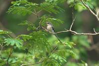 久し振りのサンショウクイ - 近隣の野鳥を探して