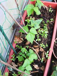 ベランダのキュウリ、スイカ、メロンを処分して新しいのを植えました。 - ぐりーんらいふ