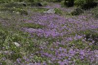 白山のハクサンコザクラ(お花松原) - 白山に魅せられて