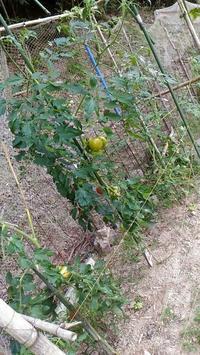 トマトの収穫できました! - アップルビーの、のんびり生活