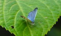 2018 猛暑日の連続 - 紀州里山の蝶たち