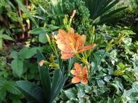 檜扇 - だんご虫の花