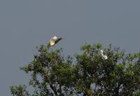 アカガシラサギ3・・・遠くの樹上に - 赤いガーベラつれづれの記