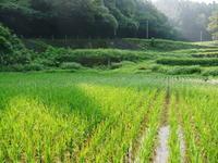 米作りへの挑戦!田植えから1ヶ月後の様子!成長に差が出てるんです・・・ - FLCパートナーズストア