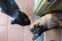 クーちゃんとリッちゃんの挨拶と、縁側のシマオ - 猫と夕焼け
