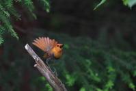 亜高山の夏鳥 その9(コマドリ劇場前編) - 瑞穂の国の野鳥たち