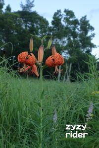 目立つ花、コオニユリ - ジージーライダーの自然彩彩