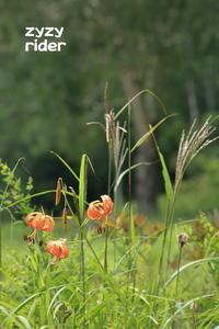目立つ花、コオニユリ(その2) - ジージーライダーの自然彩彩