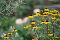 小さなローズガーデンに咲くバラと夏の花 - 季節の風を追いかけて
