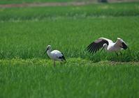 コウノトリ 終 - 今日も鳥撮り