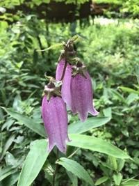 ホタルブクロの名残花 - 木洩れ日の森から
